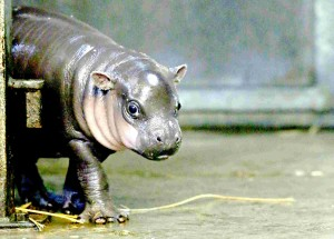 Maybe the baby hippo does need weight loss, but he stays in motion!