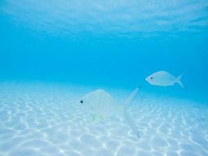 Two Grunt Fish swim near Exuma Island, Bahamas