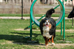 This berner like to jump through agility training hoops. She often falls.