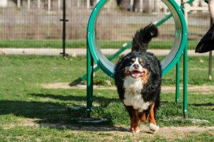 Este berner gosta de saltar através de arcos de treino de agility. Ela cai frequentemente.