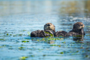 Two southern sea otters wrap themselves in eel grass in Elkhorn Slough, California.